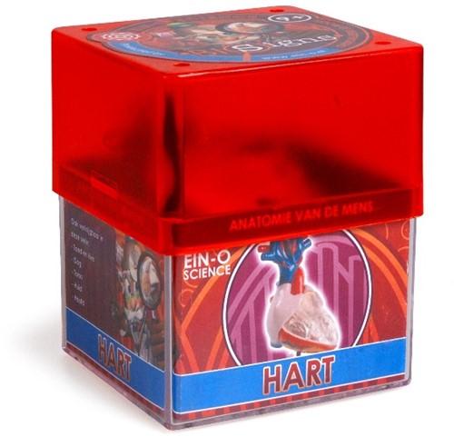 Ein-O Science Anatomie van de mens Hart-1