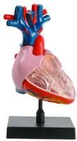 Ein-O Science Anatomie van de mens Hart-2