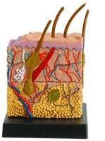 Ein-O Science Anatomie van de mens Huid-2