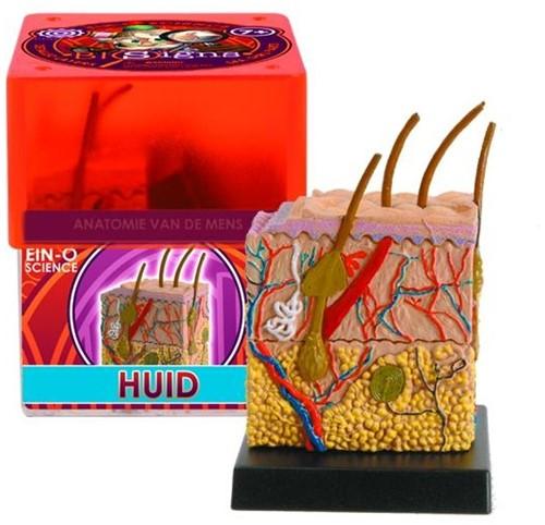 Ein-O Science Anatomie van de mens Huid-3