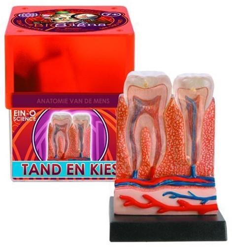 Ein-O Science Anatomie van de mens Tand en Kies-3